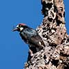 Acorn Woodpecker with a Fly