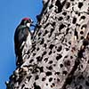 Acorn Woodpecker with an Olive