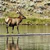 Elk on the Firehole River