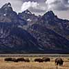 Bison Herd with Grand Tetons