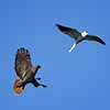 Red-Tailed Hawk chases a White-Tailed Kite