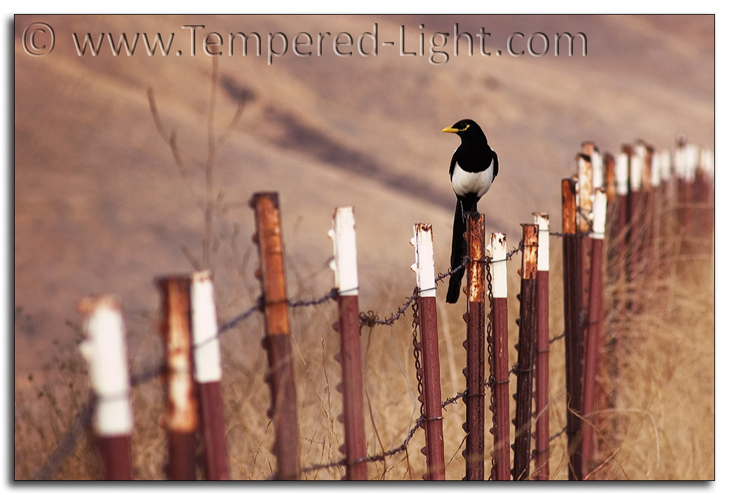 Magpie on a Rusty Fence