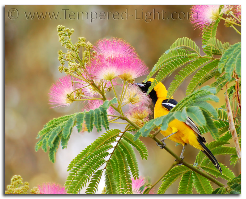 Hooded Oriole in Mimosa Tree