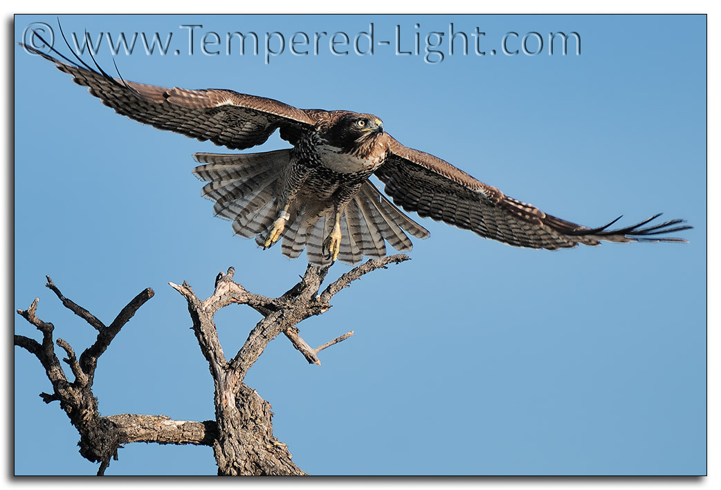 Red Tailed Hawk Takeoff