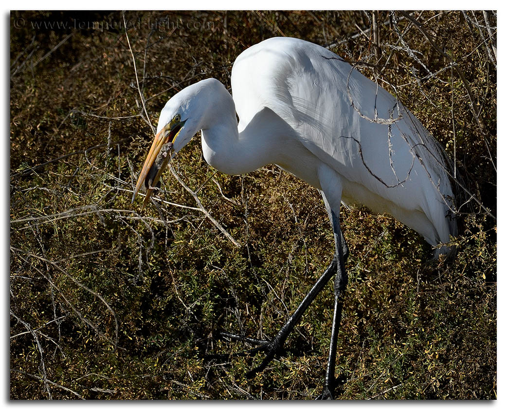 Great Egret Snacking on a Rodent
